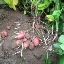 Aardappelen (rood) - BIO
