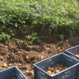 Aardappelen (geel) - BIO